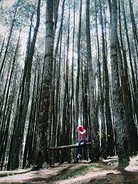 Wisata Mandiri Rental ke Hutan Pinus Pengger